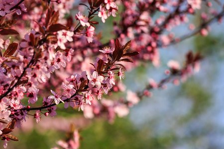 twig with flowers of apple tree on a blurred background of green grass and leaves