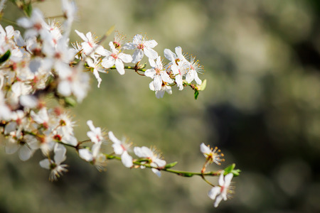 twig with white flowers of apple tree on a blurred background of green leaves