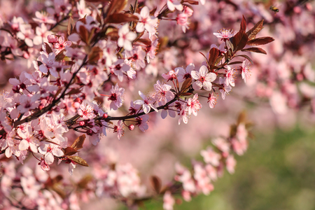 twig with pink flowers of apple tree on a blurred background of green leaves