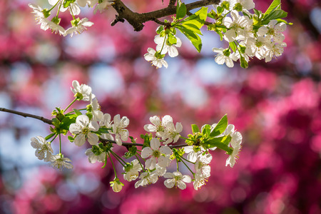 twig with flowers of apple tree on a blurred background of red flowers