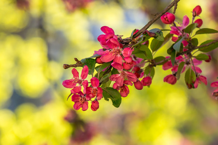 red twig with flowers of apple tree on a blurred background of green grass