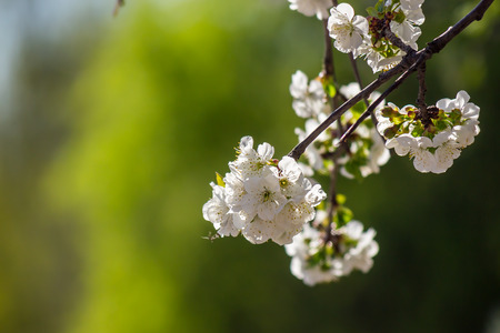 twig with flowers of apple tree on a blurred background of green bush