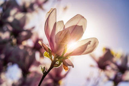 magnolia flowers close up on a blur green grass and leaves backlit background at sunset 스톡 콘텐츠
