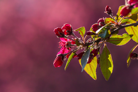 twig with flowers of wild apple tree on a blurred background of purple flowers