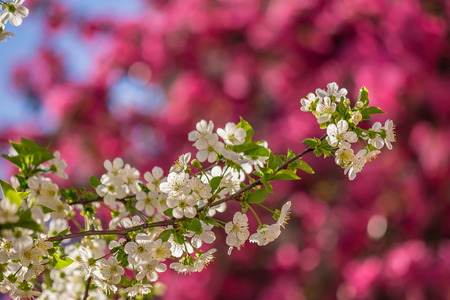 twig with flowers of apple tree on a blurred background of purple flowers