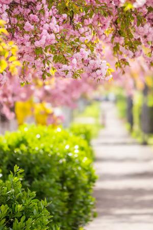 繊細なピンクの花が通りぼかし背景に桜の木を開花