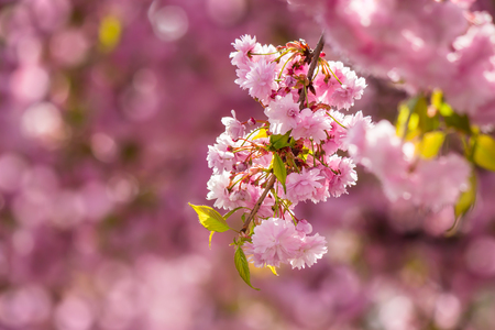 delicate pink flowers blossomed Japanese cherry trees on blur background of same tree