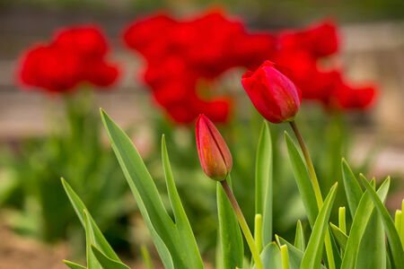 two orange tulip on blurred background of colored bokeh