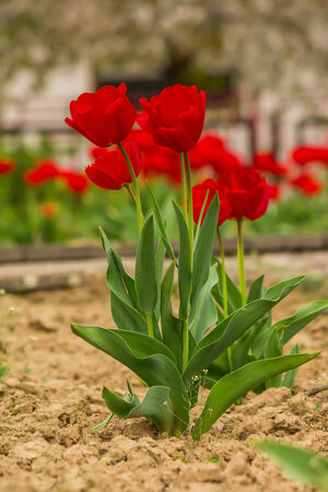 fiew red tulip on blurred background of colored bokeh