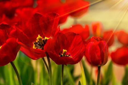 orange tulip on blurred background of colored bokeh bathing in sun light
