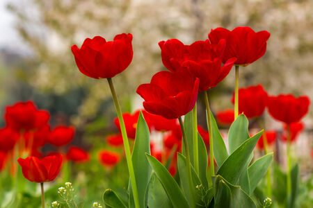 orange tulip on blurred background of colored bokeh