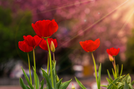 red tulip on blurred background of sakura colored bokeh in sun rays Stock Photo