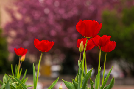 red tulip on blurred background of sakura colored bokeh