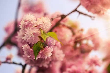 delicate pink flowers blossomed Japanese cherry trees on blur background in sun rays
