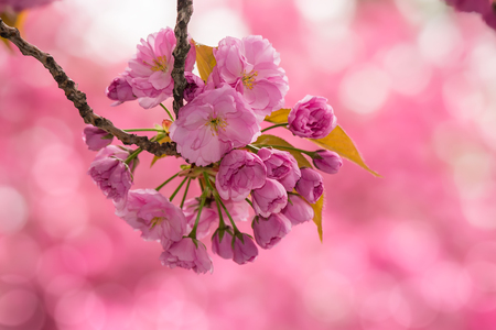 delicate pink flowers blossomed on blur background of Japanese cherry trees