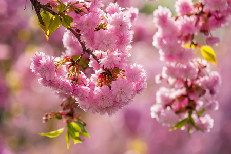 delicate pink flowers blossomed Japanese cherry trees on blur background