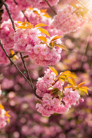 delicate pink flowers blossomed Japanese cherry trees on blur background in sunlight Stock Photo