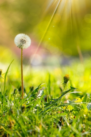 white dandelion yellow one on green grass blur background in park in sunlight