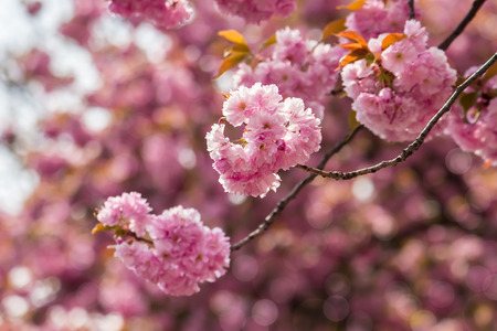 delicate pink flowers blossomed Japanese cherry trees Stock Photo
