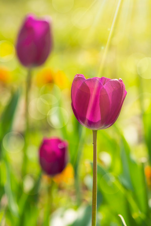 purple tulip on blurred of colored bokeh in sun rays Stock Photo