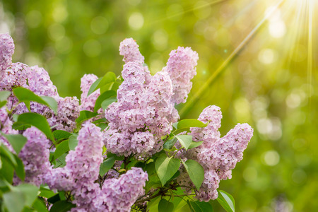 purple lilac on blurred of colored bokeh in sun light Stock Photo