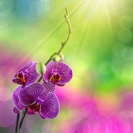 purple orchid flower with white stripes close up on blur green and purple background  in sun rays