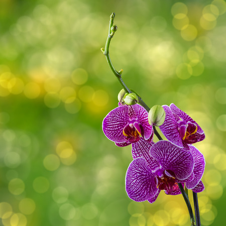 purple orchid flower with white stripes close up on blur green background Stock Photo