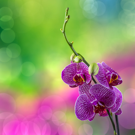 purple orchid flower with white stripes close up on blur green and purple background