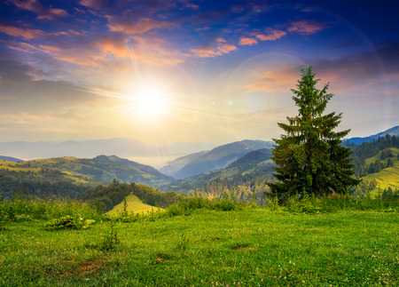 mountain summer landscape. pine tree on hillside at sunset