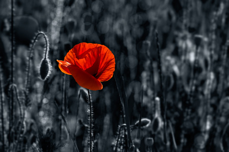big fresh poppy in the field.  two color black and red style Stock Photo