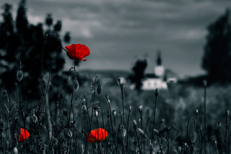 big fresh poppies in the green field near the village church  two color black and red style Stock Photo