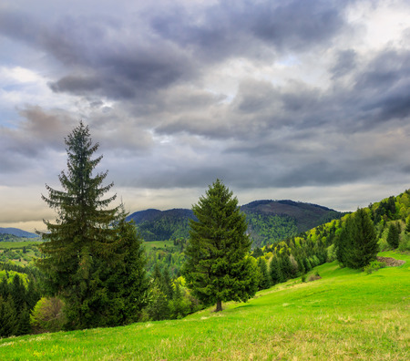 summer landscape. slope on a mountain range with coniferous forest near the meadow oan a dull day Stock Photo