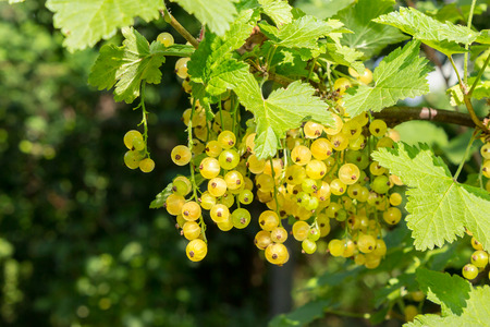 juicy fruit white currants on a hot summer day hanging on the branches on blurred background of garden Stock Photo