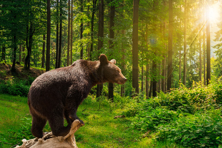 wet bear: curious little bear on a dry lumber in the forest in sunlight rays