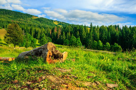 log of an old tree on a hillside near the pine forests in the mountains