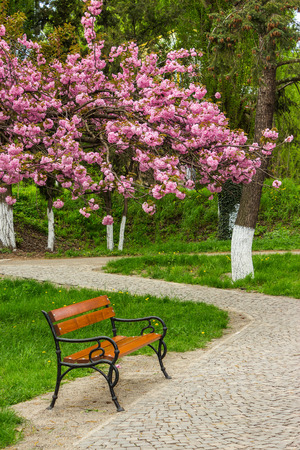 delicate pink flowers blossomed Japanese cherry branch over the bench on s curve path  in park