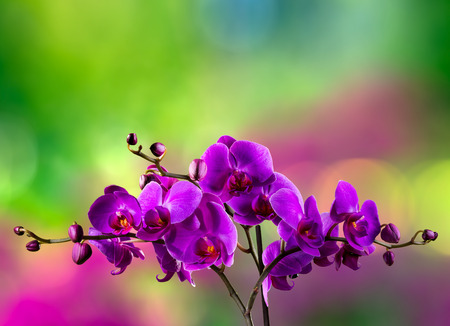 fuchsia orchid flower close up on blurred purple and green garden background