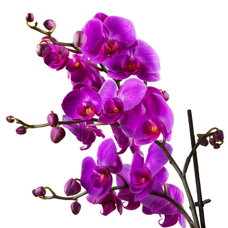 purple orchid flower close up on white  background