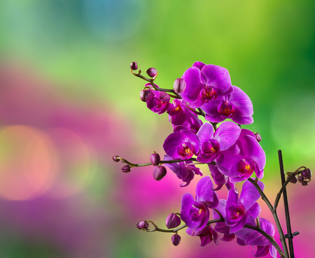 purple orchid flower close up on blurred purple and green green garden background