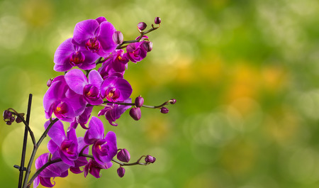 purple orchid flower close up on blurred green garden background