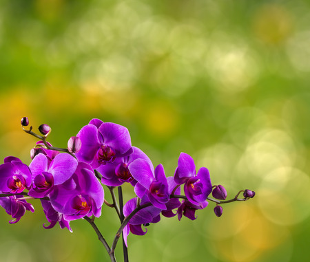fuchsia orchid flower close up on blurred green garden background Stock Photo