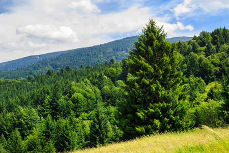 big tree in front of coniferous forest on top of a slope of mountain range
