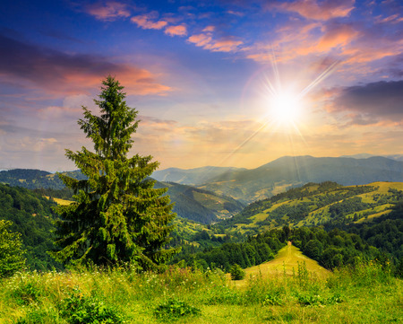 big tree in front of coniferous forest on top of a slope of mountain range at sunset