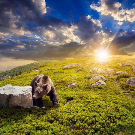 little brown bear walking among white sharp stones on the hillside at sunset