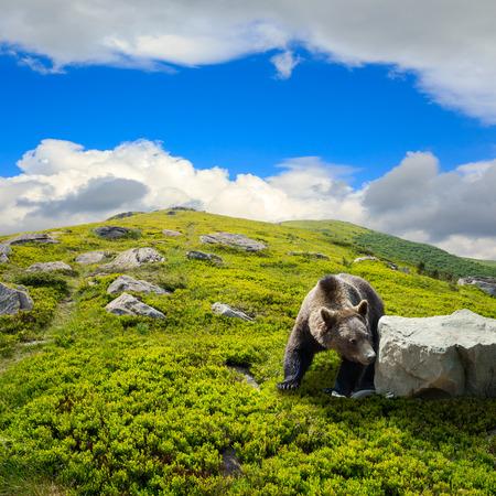 little brown bear walking among white sharp stones on the hillside