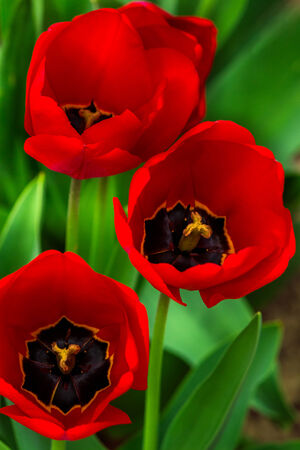 three red tulips on green blurred background of grass bokeh