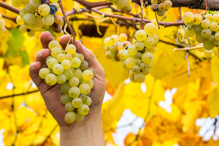 Grapes harvest. Farmer is holding a ripe white grapes in vineyard Stock Photo