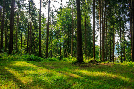 forest glade with stump in the cool shade of the trees a hot summer day