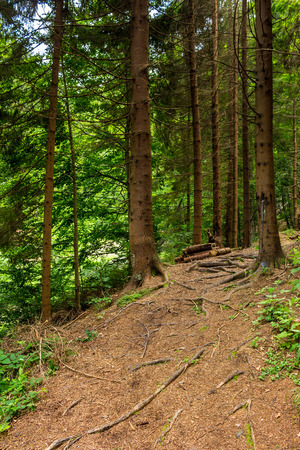wide trail  in the shade of pine trees of green forest