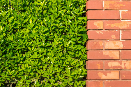 red brick wall with green leaves of a bush